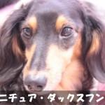 【賢く勇敢で頑固】ミニチュア・ダックスフンドの性格と飼い方