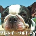 【人なつこくて元気活発】フレンチ・ブルドッグの性格と飼い方