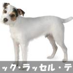 【元気活発!番犬向き】ジャックラッセルテリアの性格と飼い方