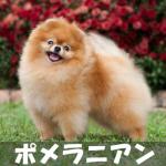 【飼い主に従順!活発な小型の番犬】ポメラニアンの性格と飼い方
