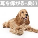 愛犬が耳を痒がる!耳が臭い!!原因と症状・対処方法を解説