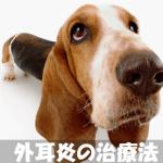 【外耳炎の犬に治療薬オスルニアが効果!?】症状と原因も解説!