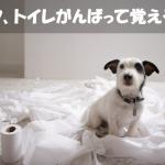 簡単!!初心者のための室内で飼う子犬【トイレのしつけ方法】