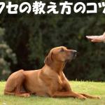 【お尻上げて伏せしない】ゼロからしつける犬の伏せの教え方