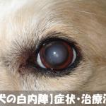 【知っておきたい犬の白内障】症状・治療法と予防対策