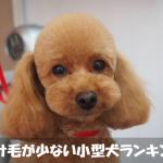 抜け毛の少ない小型犬種ランキングベスト3