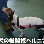 【犬の椎間板ヘルニア】原因や症状を初心者にわかりやすく解説