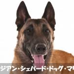 【熱中症死】警察犬ベルジアン・シェパード・ドッグ・マリノア