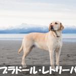 【優しくて大人しい】ラブラドール・レトリーバーの性格と飼い方