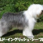 【重量感】オールドイングリッシュシープドッグの性格と飼い方