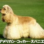 【他人にもなつく】アメリカンコッカースパニエルの性格と飼い方