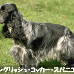 【明るく陽気】イングリッシュコッカースパニエルの性格と飼い方