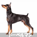 【攻撃性ある危険な番犬】ドーベルマンの性格と飼い方