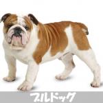【ブサカワ!!】初心者のためのブルドッグの性格と飼い方