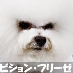 【お金かかるが人が好き】もふもふ犬ビション・フリーゼの飼い方