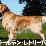 【人とボールが大好き】ゴールデン・レトリーバーの性格と飼い方